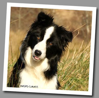 Scotland Offering Border Collie Puppies